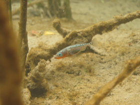 threespine stickleback by David Marques